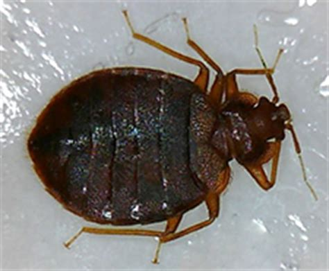 crazy things to do in bed bed bugs cause people to do crazy things sterns chatter