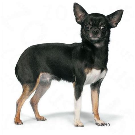 royal canin chihuahua puppy royal canin chihuahua free p p on orders 194 163 29 zooplus
