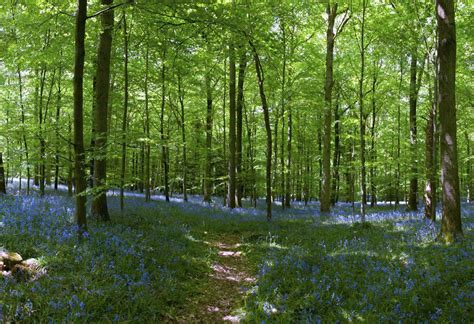 wall murals forest bluebell forest wall mural 12 wide by 8 high ebay