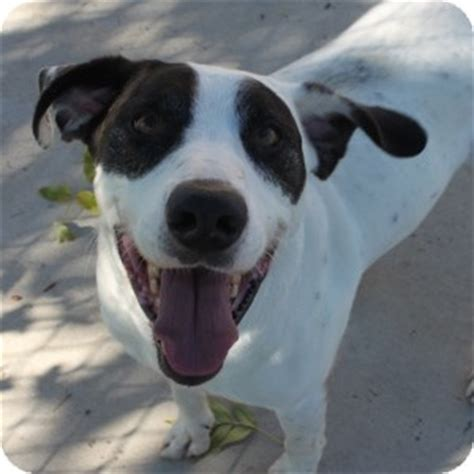yorkie great dane mix maverick adopted 13 0583 naperville il great dane great pyrenees mix