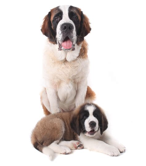 san bernardo razas de perros de trabajo con fotos