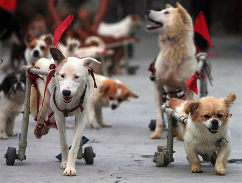 handicap dogs animal rescue center cares for dogs disabled in earthquake zimbio