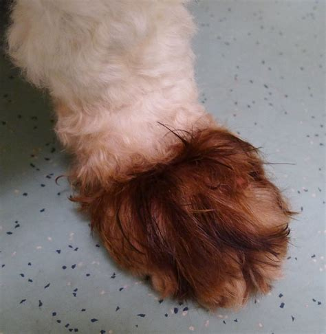 yeast infections in dogs yeast infection paws