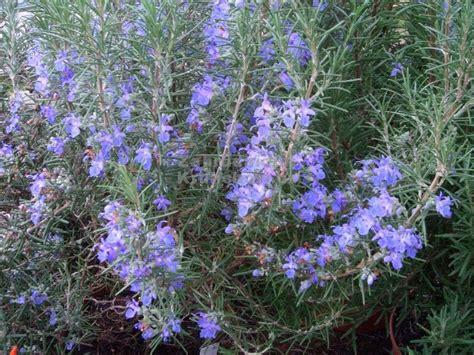 rosmarinus officinalis quot benenden blue quot rozmar 253 n zahradnictv 237 krulichovi zahradnictv 237