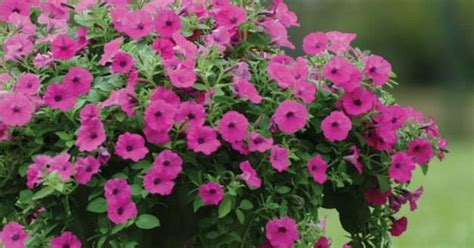 beau monde southern landscape gardening how to care for wave petunias
