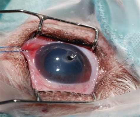 eye ulcer veterinary ophthalmologist in montreal infected ulceration