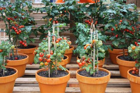 pomodori in vaso coltivazione pomodori orto in balcone pomodori come