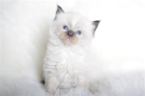 ragdoll cat lifespan ragdoll cat breed lifespan cats