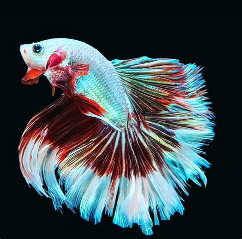 Makanan Ikan Cupang Koi wallpaper ikan cupang ikan cupang hias koi plakat fancy