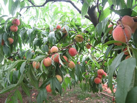 fruit tree seeds for sale 2014 high quality fruit tree seeds seed for sale