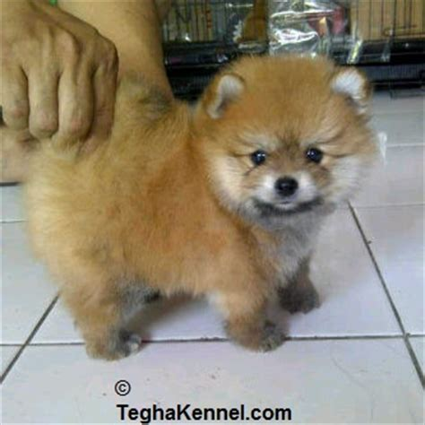 boo puppies for sale boo pomeranian puppies for sale puppies for sale dogs for sale breeders