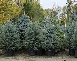 weihnachtsb ume im topf weihnachtsbaum im topf einpflanzen