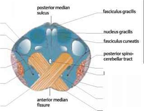 Transverse Section Of Medulla Oblongata by Transverse Section Of Medulla Oblongata Cerebral Cortex