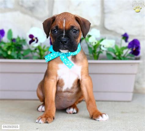 boxer puppies pa 25 best ideas about boxer puppies for sale on boxers for sale boxer dogs