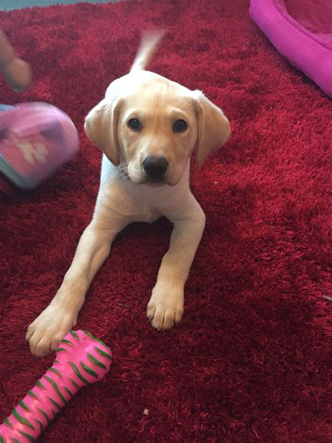 13 week puppy 13 week yellow labrador puppy portland dorset pets4homes