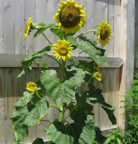 Benih Foxglove Mixed benih big sunflower