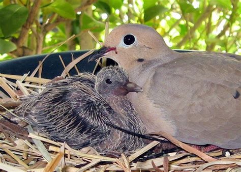 my first upload mourning dove with baby