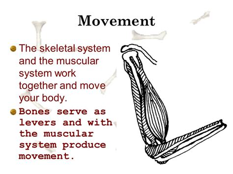 A Tour Of Your Muscular And Skeletal Systems the skeletal system chapter 14 lesson 1 part ppt