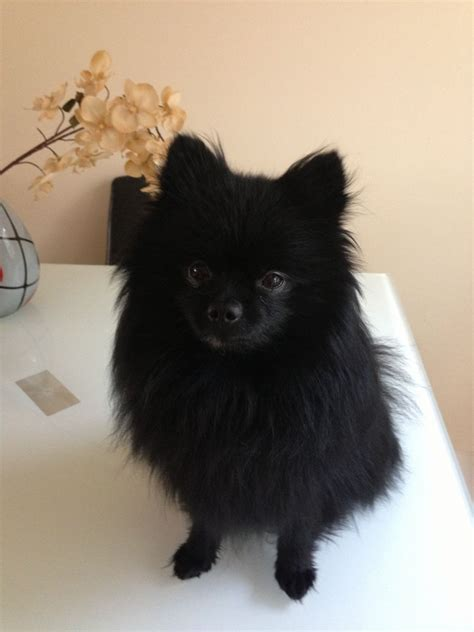 black pomeranian kc reg black pomeranian for stud aberdeen aberdeenshire pets4homes