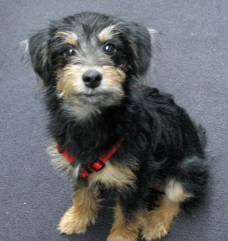 terrier mix puppies terrier airedale mix breeds picture