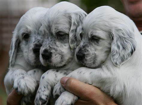 english setter dogs for sale uk english setter puppies in gloucester expired friday ad