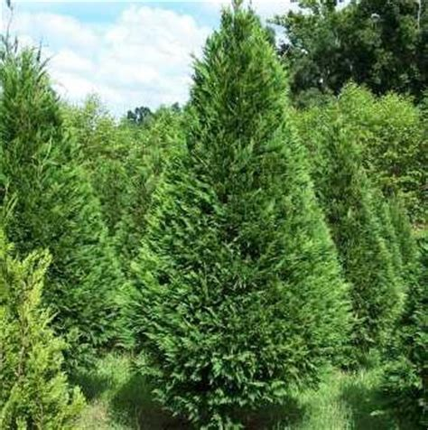 real christmas trees in santa claus and christmas
