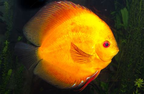 Types Of Orange Color file orange discus fish symphysodon aequifasciatus jpg
