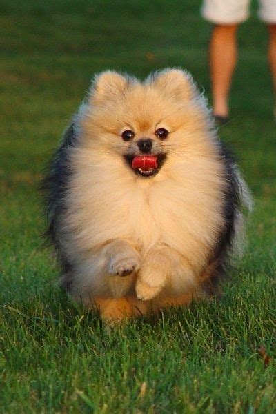 my pomeranian has fleas 102 best images about pomchi s on chihuahuas pom and pomeranian dogs