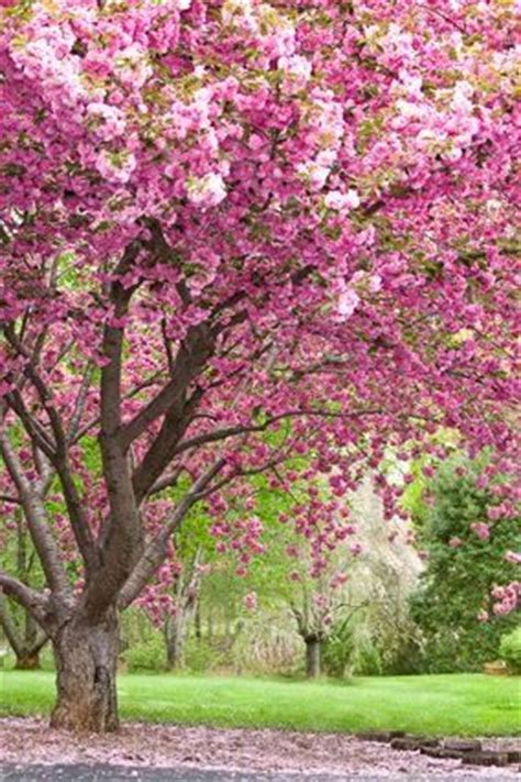 98 best images about flowering trees on trees crab apples and plum tree