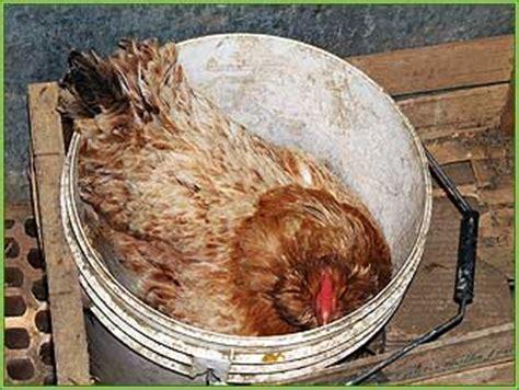 alimentazione naturale galline ovaiole la gallina boffa allevamento