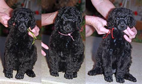 black standard poodle puppies standard poodle puppies standard poodles san diego poodles