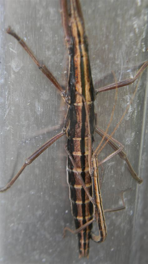 walking stick insect anisomorpha buprestoides lifewithkeo