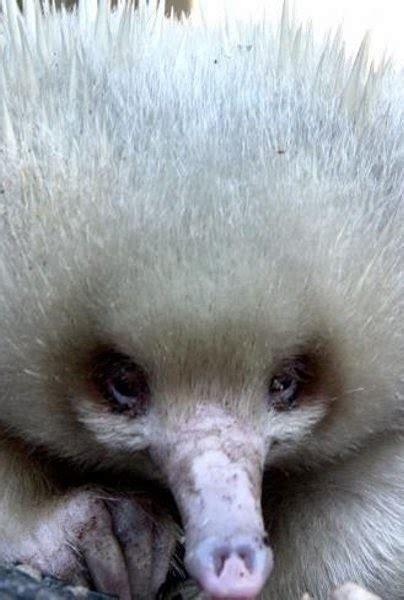 merak albino hewan albino langka di dunia dunia 24 jam