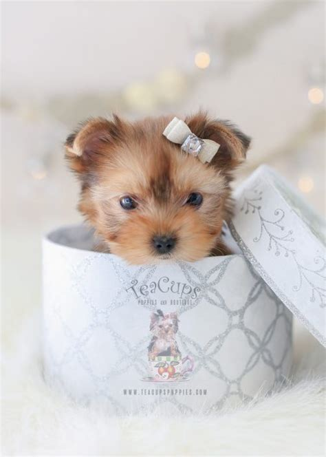 teacup puppies for sale or teacup yorkies for sale teacups puppies boutique