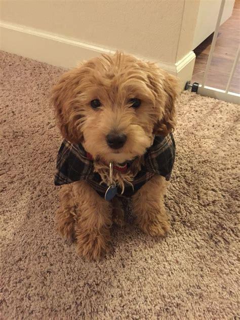 retriever doodle puppies for sale nz the 25 best goldendoodle miniature ideas on