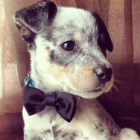 and blue heeler puppies roses are and blue heeler puppies are awesome
