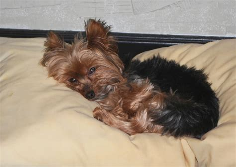mini yorkie info yorkie designer haircuts breeds picture