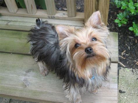 allergic to yorkie 10 best dogs for who allergies dogvacay official