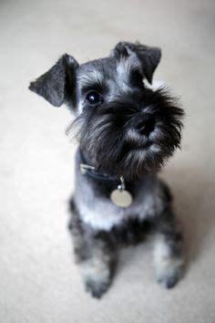 mini schnauser perfect haircut schnauzer haircut puppy google search schnauzers