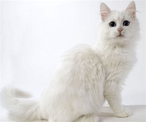 Sho Kucing Dan Harga daftar harga kucing anggora terbaru september 2017 hargakucing