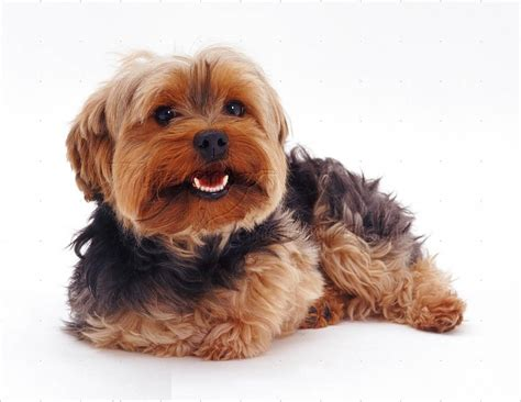 beautiful yorkies 45 adorable terrier images and pics golfian