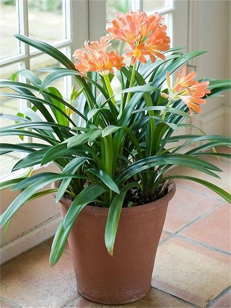 Beautiful Indoor Plants | beautiful flowering indoor plant indoor plants pinterest