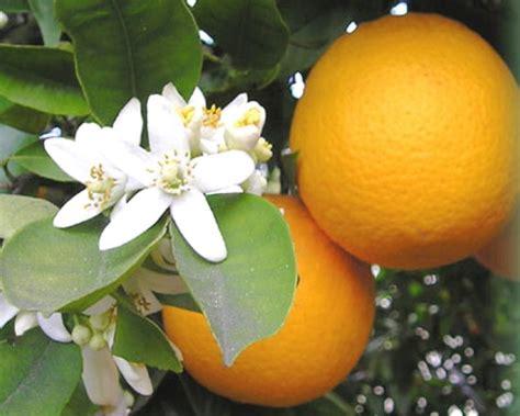 acqua fiori arancio acqua di fiori di arancio amaro
