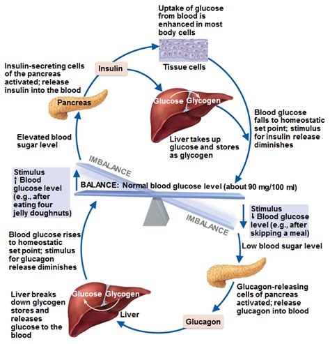 Does Detoxing Raise Your Blood Sugar Levels by 08 Endocrine System Mister Painter S Classroom