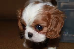 blenheim color cavalier puppies