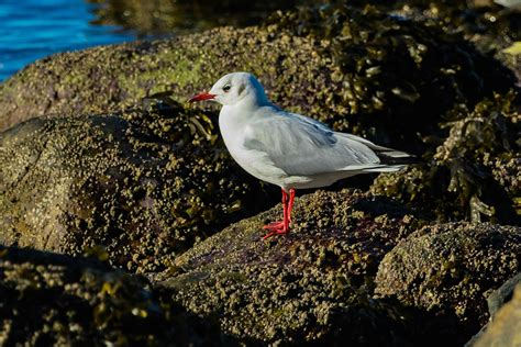 british columbia bird alert vancouver area and the fraser