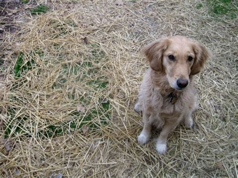 why do golden retrievers smell pooping in paradise something wagging this way comes