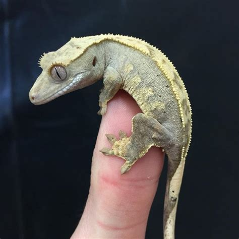 buy house gecko best 25 crested gecko ideas on pinterest geckos