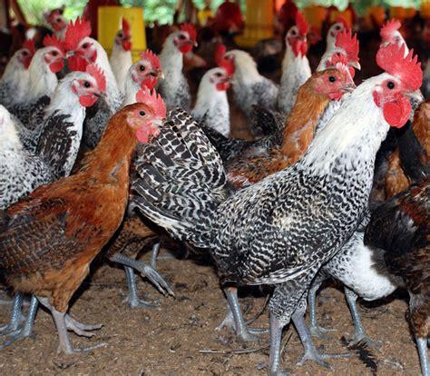 Bibit Ayam Arab ayam arab ayam petelur unggul bebeja