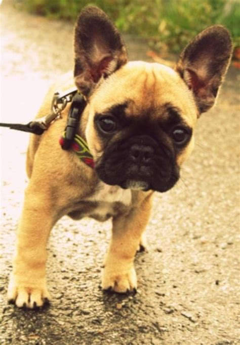 frenchie pug breeders i want frenchie pug mix things i
